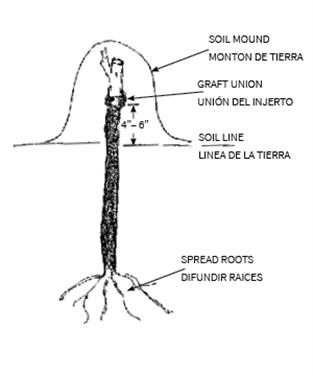 Planting Dormants Planting And Care Grapevines Novavine