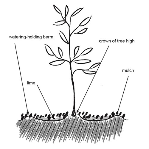 Olivetreeplanting Planting